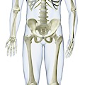 Human Skeleton by Dorling Kindersley/uig