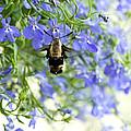 Hummingbird Moth by Lena Auxier