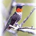 Hummingbird by Travis Truelove