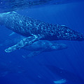 Humpback Whale Traveling Group Maui by Flip Nicklin
