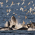 Humpback Whales Feeding With Gulls by Flip Nicklin