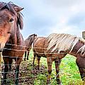 Icelandic Ponies by Alexey Stiop