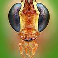 Ichneumon Wasp by Matthias Lenke