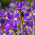Irises by Elena Elisseeva