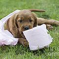 Irish Setter Puppy by Jean-Michel Labat