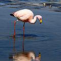 James Or Puna Flamingo by James Brunker