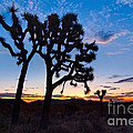 Josua Trees Beautifully Lit During Sunrise In Joshua Tree Nation by Jamie Pham
