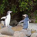 Juvenile Nz Yellow-eyed Penguins Or Hoiho On Shore by Stephan Pietzko