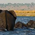 Kalahari Elephants Crossing Chobe River by Amanda Stadther