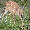 Key Deer Fawn by Mitchell Rudin