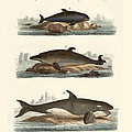 Kinds Of Whales by Splendid Art Prints