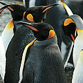 King Penguin Colony by Amanda Stadther