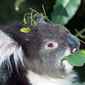 Koala by Tony Camacho/science Photo Library
