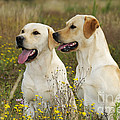 Labrador Retriever Dogs by John Daniels