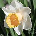 Large-cupped Daffodil Named Mrs. R.o. Backhouse by J McCombie