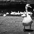 large swan on slipway protecting flock in galway bay Galway city county Galway Republic of Ireland by Joe Fox