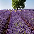 Lavender Field by Brian Jannsen