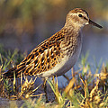Least Sandpiper by Don Baccus