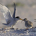 Least Tern Feeding It's Young by Meg Rousher