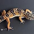 Leopard Gecko Eublepharis Macularius by David Kenny