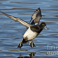 Lesser Scaup Drake by Anthony Mercieca