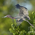 Little Blue Heron by Anthony Mercieca