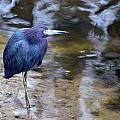 Little Blue Heron by Linda Kerkau
