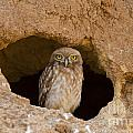 Little Owl Athene Noctua by Eyal Bartov