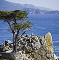 Lone Cypress Tree by B Christopher