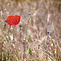 Lonely Poppy by Guido Montanes Castillo