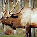 Male Elk by Crystal Wightman