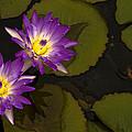 Lotus by Qi Gao