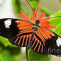 Madeira Butterfly by Millard H. Sharp