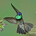 Magnificent Hummingbird by Anthony Mercieca