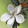 Magnolia Blossom by Kristin Elmquist