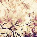 Magnolia by Jelena Jovanovic