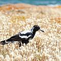 Magpie by Tim Hester