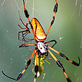 Male And Female Silk Spiders With Prey by Millard H. Sharp