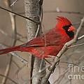 Male Northern Cardinal by Ken Keener