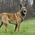 Malinois, Belgian Shepherd Dog by Johan De Meester