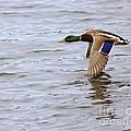 Mallard Duck In Flight by Louise Heusinkveld