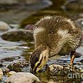 Mallard Duckling by Michael Cummings