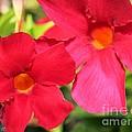 Mandevilla Named Sun Parasol Crimson by J McCombie