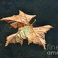 Maple Leaf by Mats Silvan