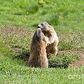 Marmots by Antonio Scarpi