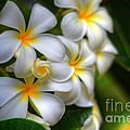 Maui Plumerias by Kelly Wade