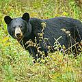 Meadow Black Bear by Timothy Flanigan