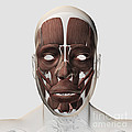 Medical Illustration Of Male Facial by Stocktrek Images