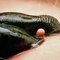 Medicinal Leech by Martin Dohrn/science Photo Library
