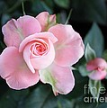 Miniature Pink Roses by Sharon Johnston